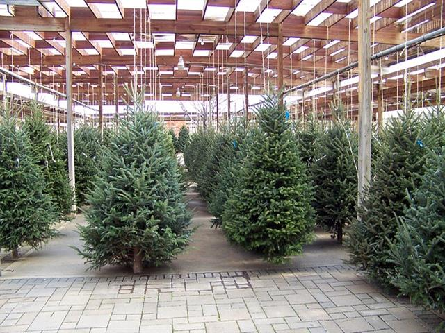 Desde hoy lunes 8 de enero, el Ayuntamiento de Torrejón recogerá los árboles navideños de los vecinos para replantarlos en las zonas verdes de la ciudad